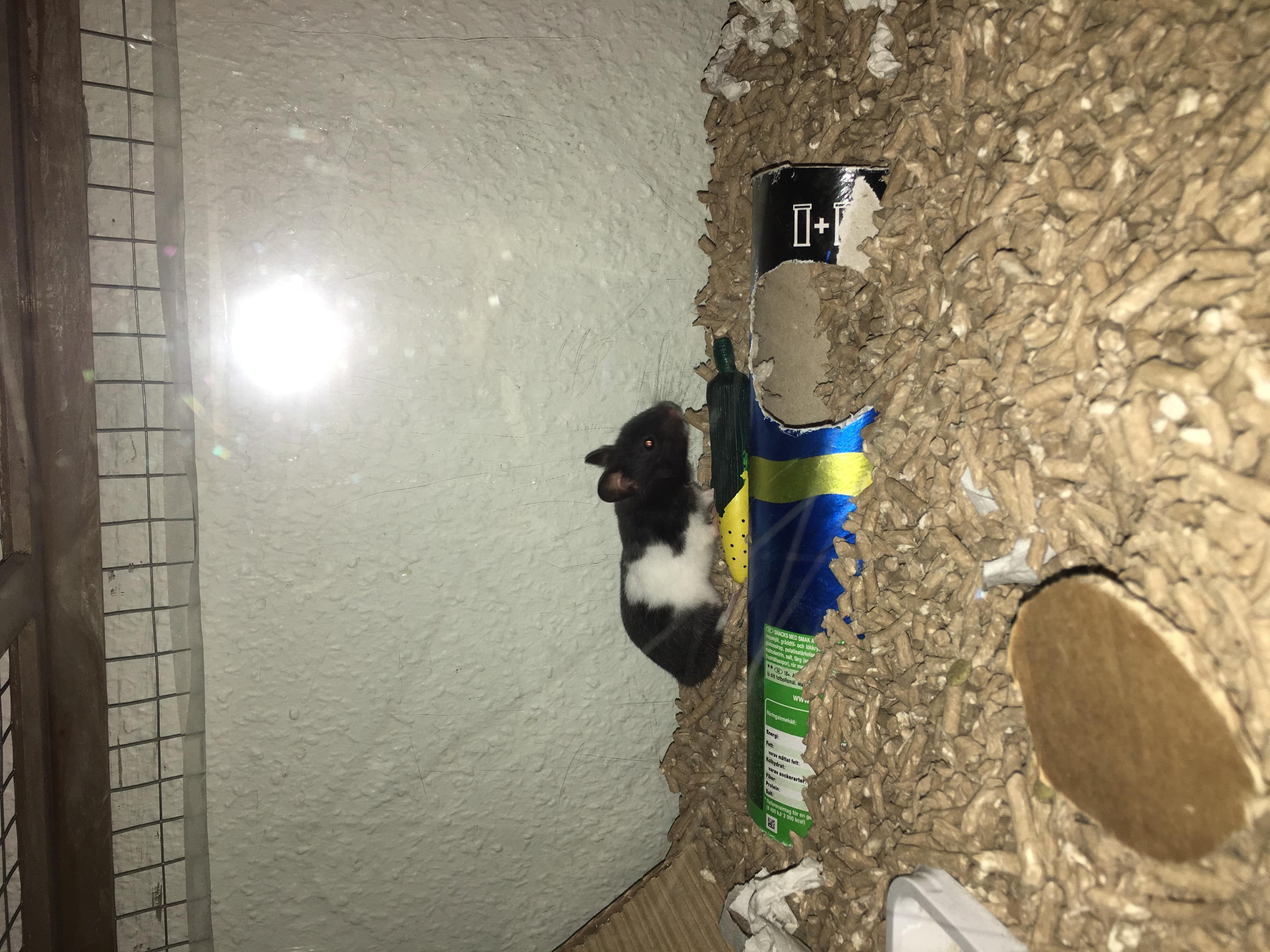 Hamster vuxna rör